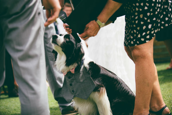 Marley the border collie as ring bearer
